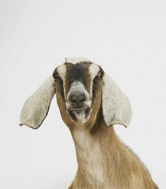Nubian Goat No. 2, 7 x 8 Fine Art Print