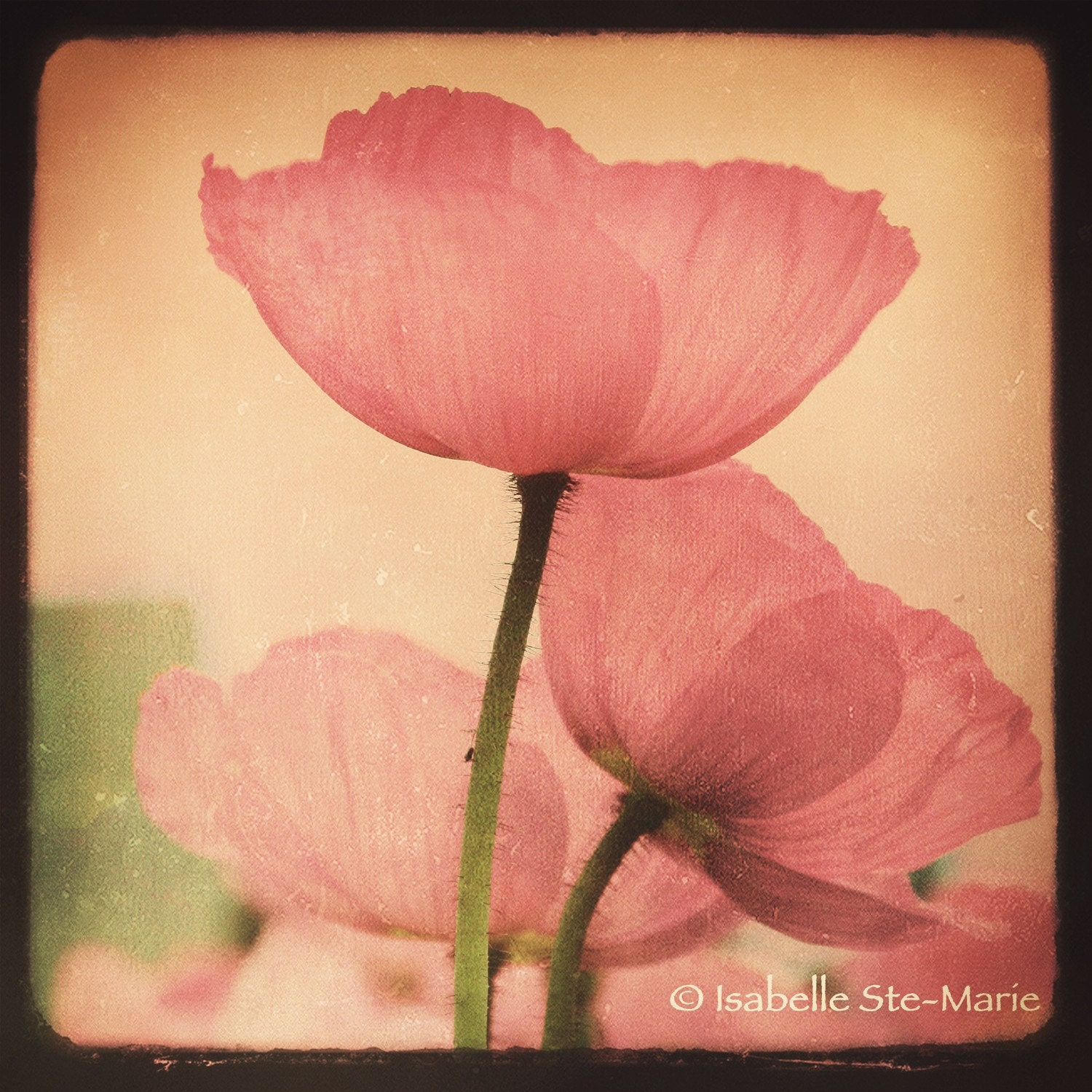 8X8 Nature , Flowers Pink Peonies Fine Art Photography Print -