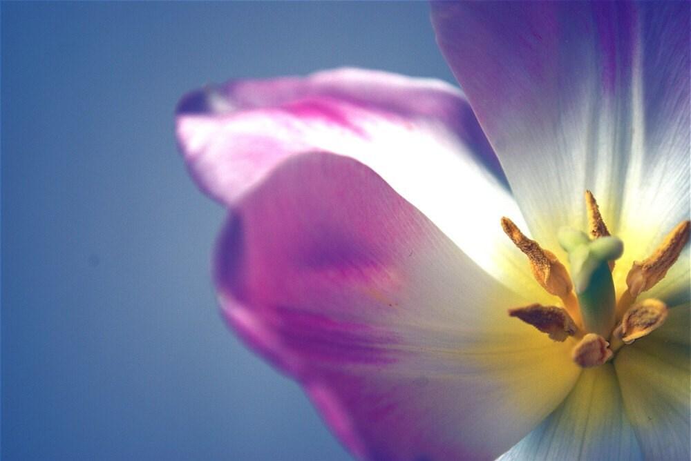 Tulip 8x10