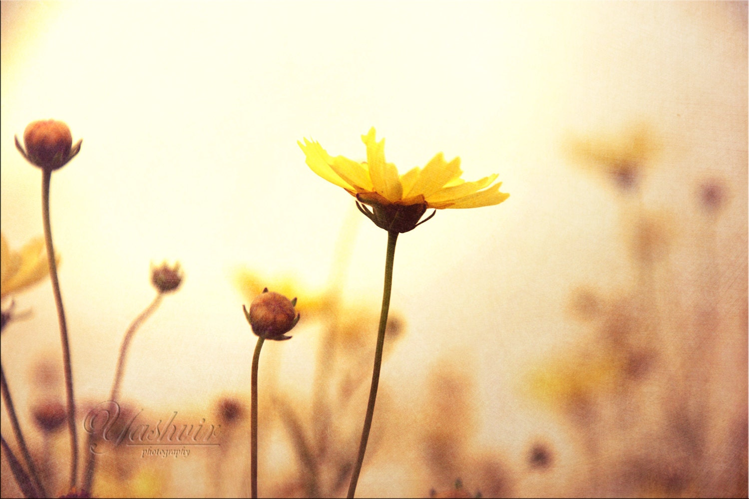 Dreamy Day - Photography print of flowers.  Enchanted and romantic. Yellow and white, wall art, home decor - Yashvir