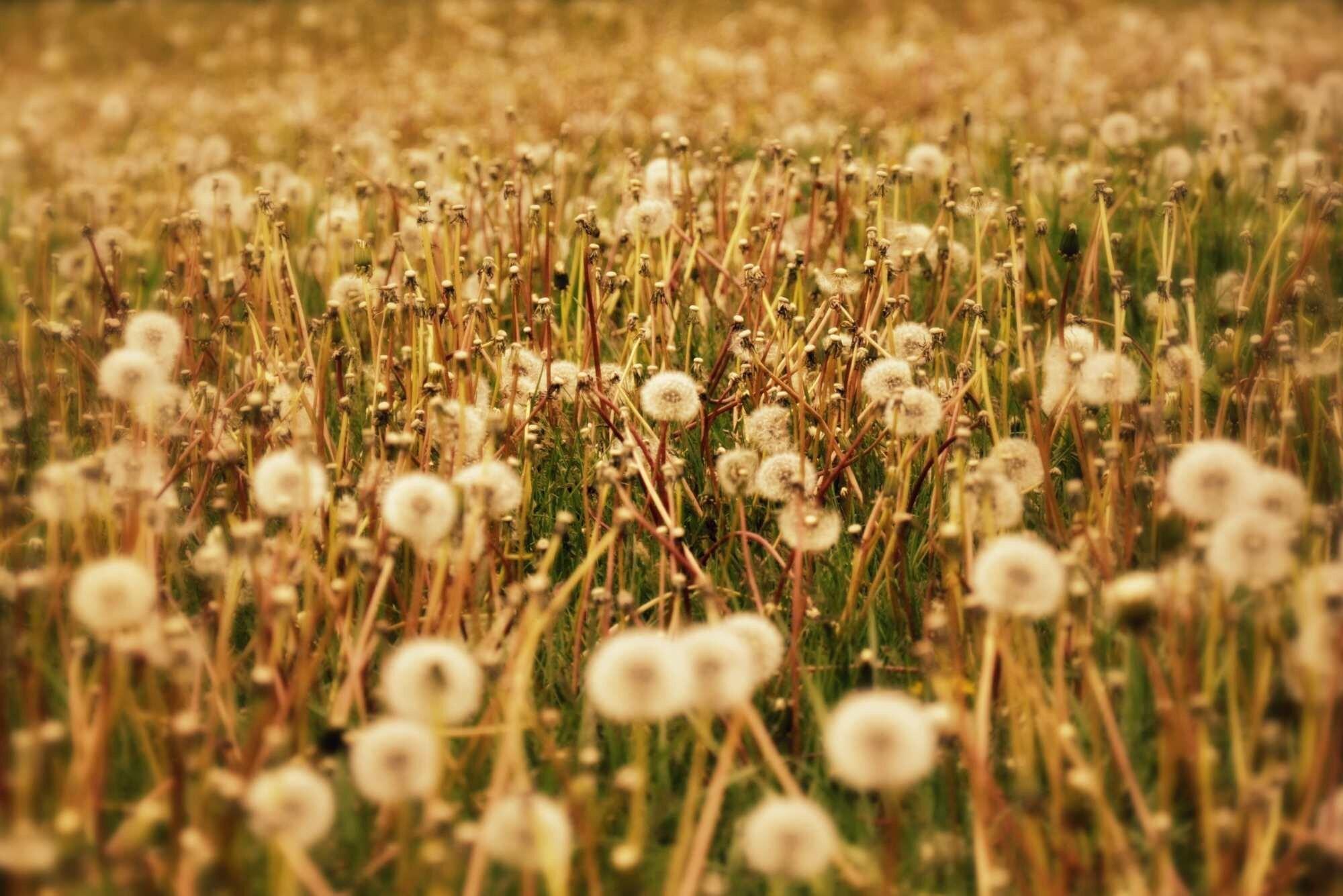 Dandelion Field 8x10 print