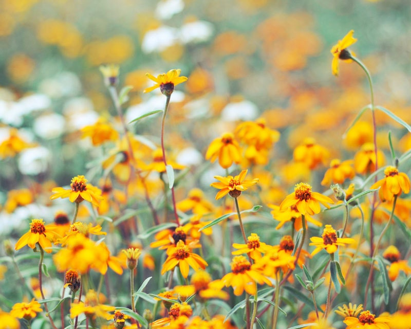 Field Of Flowers, Orange Flowers, White Flowers, Floral Photography, Mothers Day, Nature Photography, 8 x 10 Fine Art Photography - Colourscape