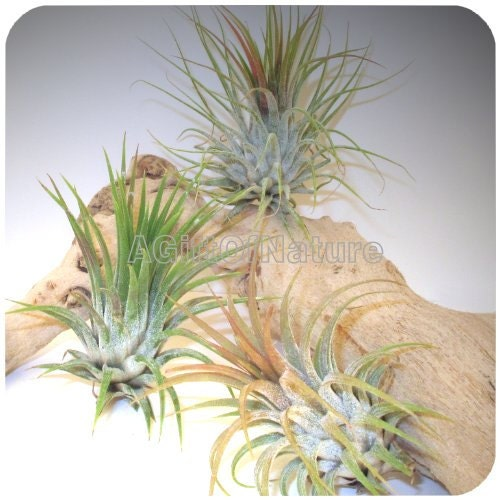 Items Similar To Air Plant Set Trio Tillandsia Air Plants