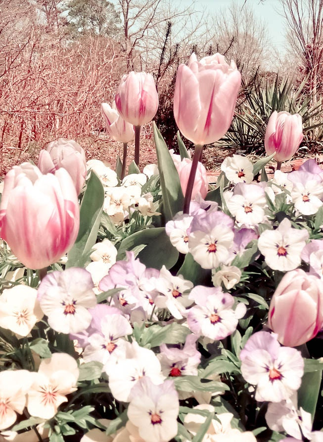 Landscape Photograph Field of Tulips 5 x 7 Metallic Print Vintage Retro Style Spring Summer Chic Shabby Cottage Feminine Pale Pinks Pastel - FacingTheLens