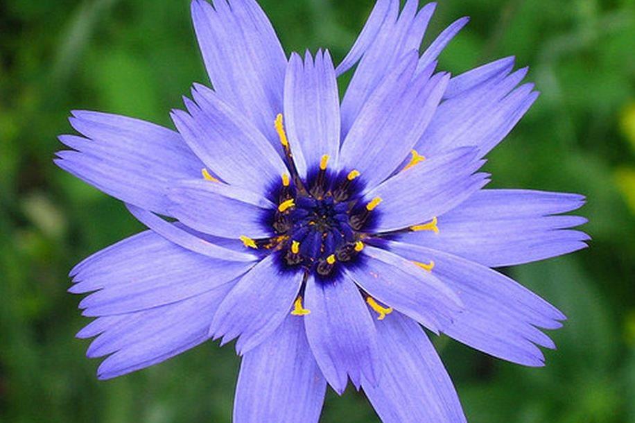 Cupid's Dart, Blue Cupid's Dart Seeds Catanache Gorgeous Cutting Flower - thegardenstudio