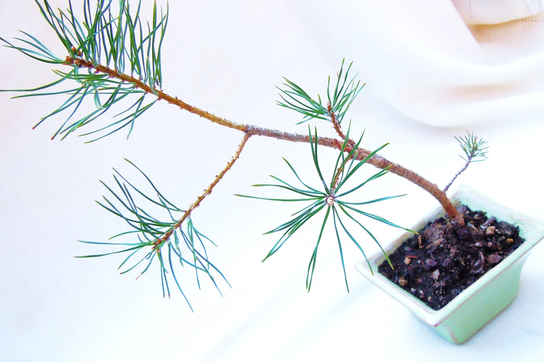 Bonsai - Pinus / Pine sapling seedling - Set at Angle - WorldOfBonsai