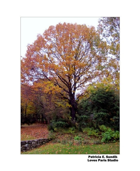 Autumn Oak Tree Photo,16 x 20 inch,  Fine Art Poster Print
