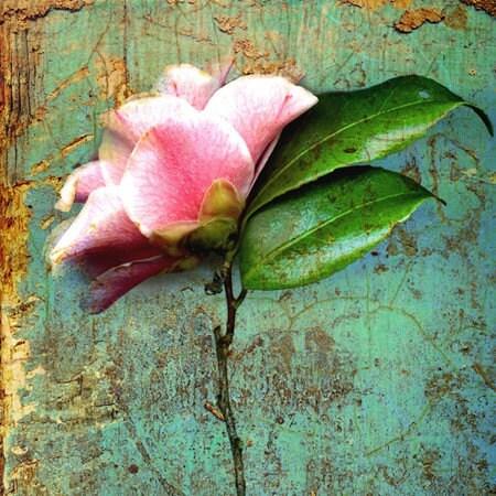 Blossom от розарий (4x4 дюйм холст мини)