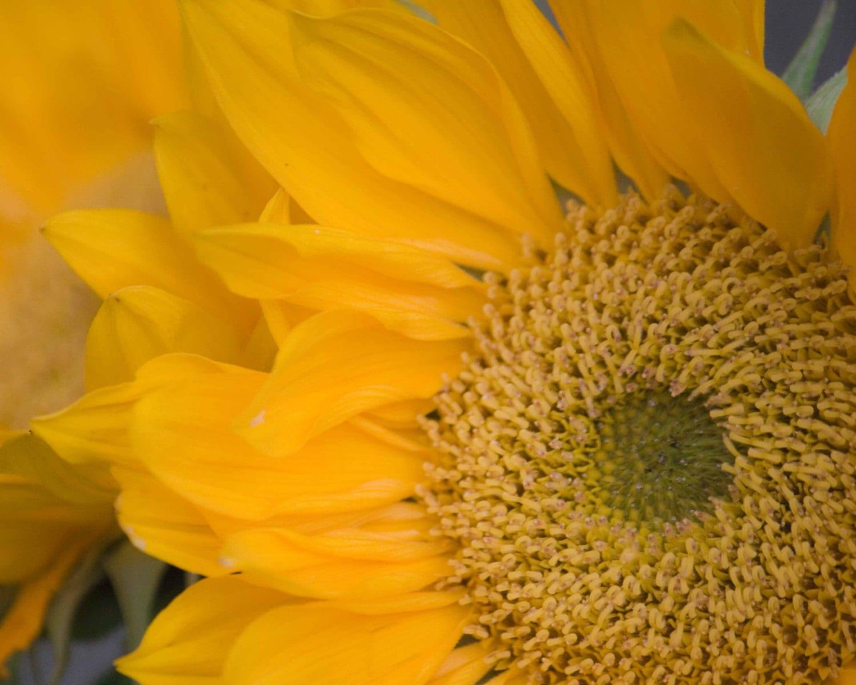 Country Sunflower Fine Art Print Series 8x10 Print Letter E