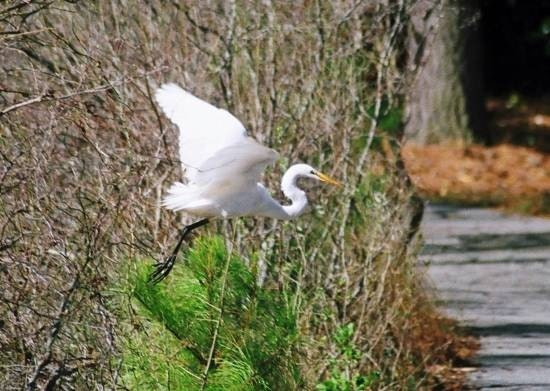 the gracefulness of a flying egret