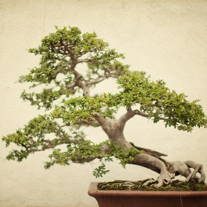 Disaster Relief Japan - Your moment of zen - A serene fine art bonsai photograph