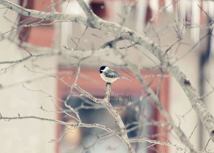 Pastel Bird Photography - Lone Chickadee - Winter Woodland Photography Print - Soft Gray Pink Black Chickadee Winter Forest Art - JessaMaePhoto