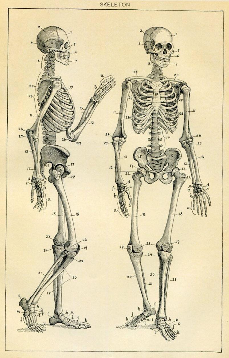 Skeleton human anatomy