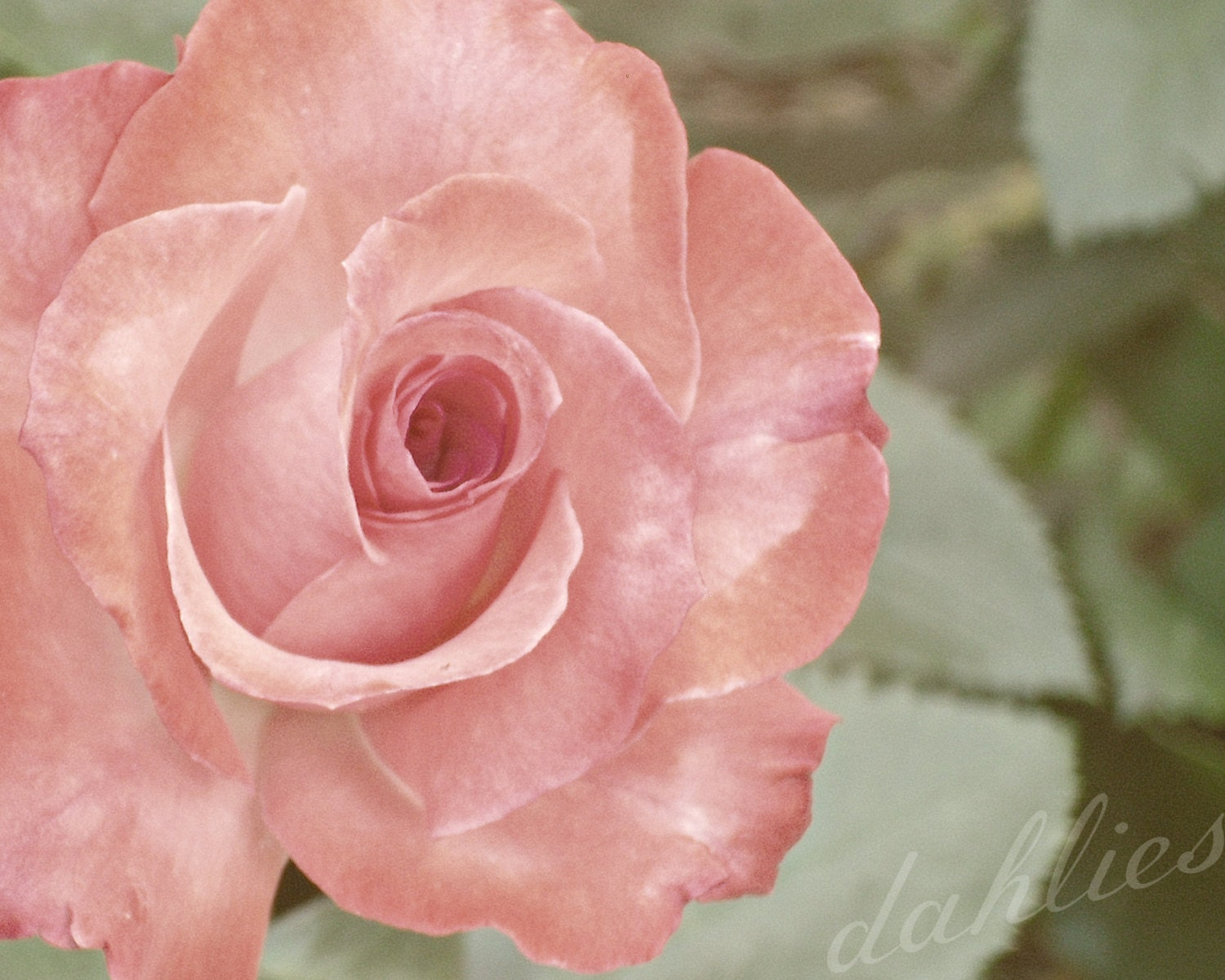 pink rose - a printable photograph - dahlies