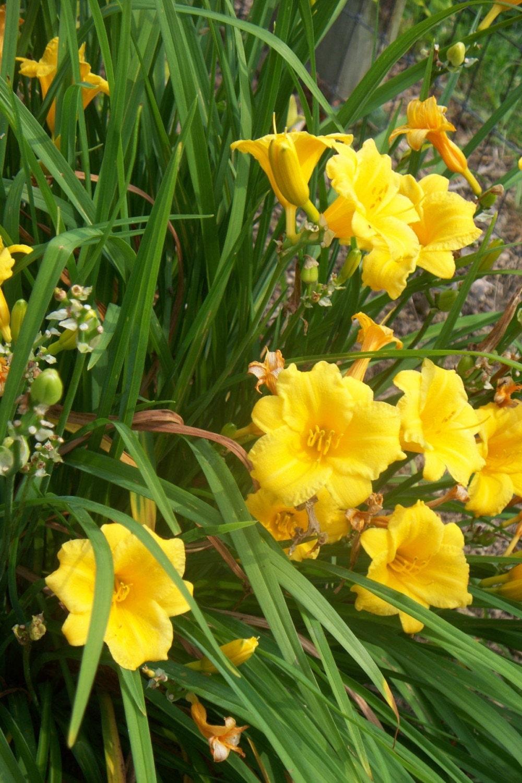 Alpaca meadows blog alpacas and daylilies for No maintenance perennials