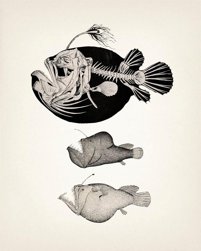 Angler Fish Skeleton Scientific Anatomy Drawing OE01 Fine