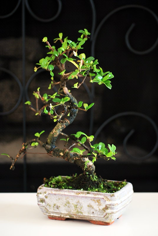 Live Fukien Tea Tree Bonsai Free Shipping Nice Gift By