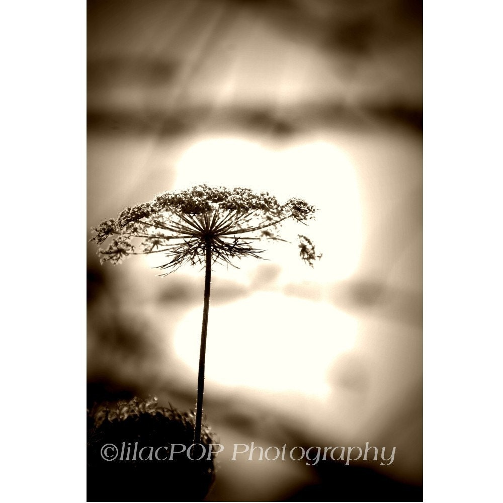 Queen Anne's  Lace No.3 8x10 Fine Art Photograph on Metallic Paper  FREE SHIPPING
