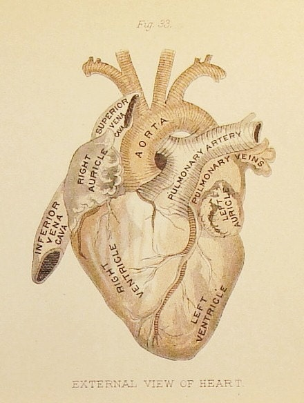 Circa 1880 - Three Pages of the Heart - Figures 32 through 36 - Antique Anatomy Illustrations of the Heart