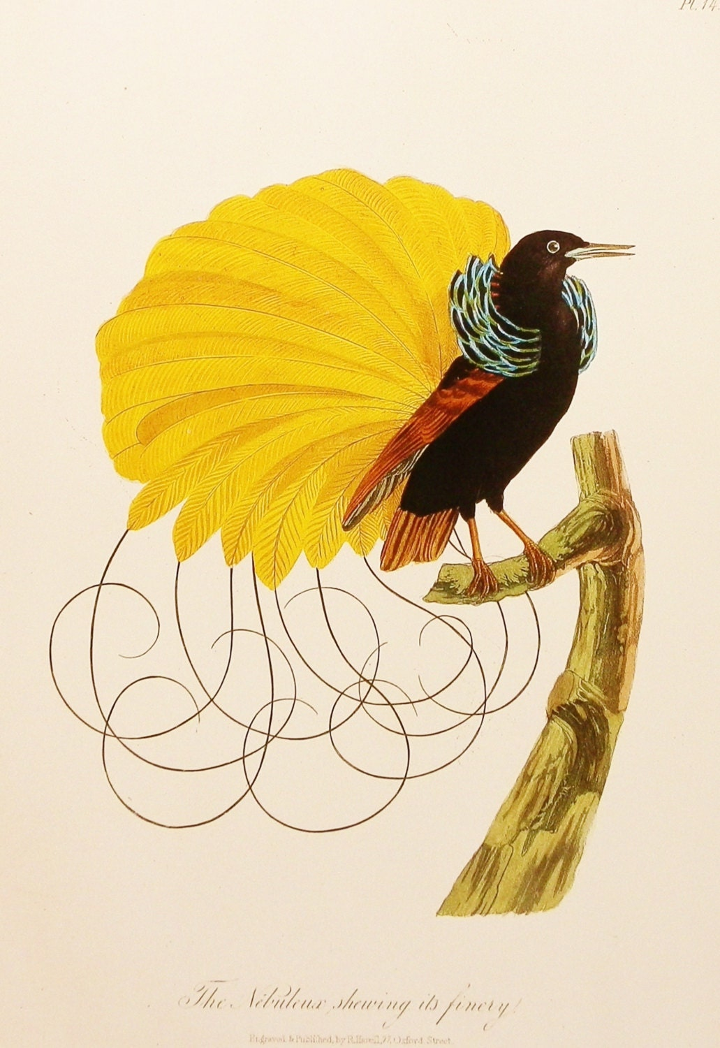 Bird Print, Bird of Paradise (Yellow Home Decor, 1800s Exotic Bird Art) No. 69 - earlybirdsale
