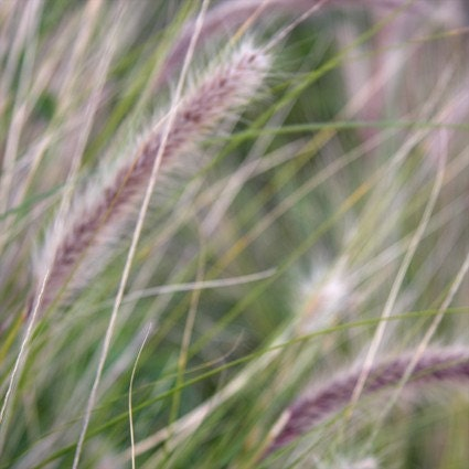 Soft Grasses - Fine Art Photograph