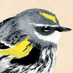 Ornithology Plate Series- Yellow rumped warbler- 8x8inch 20x20cm-  Limited Edition CHRISTMAS SALE 2 for 25
