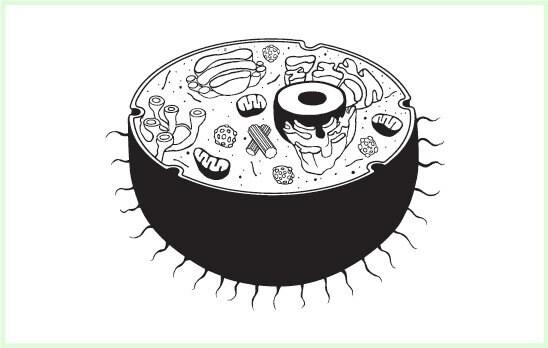 cuipercysun: animal cell diagram grade 8