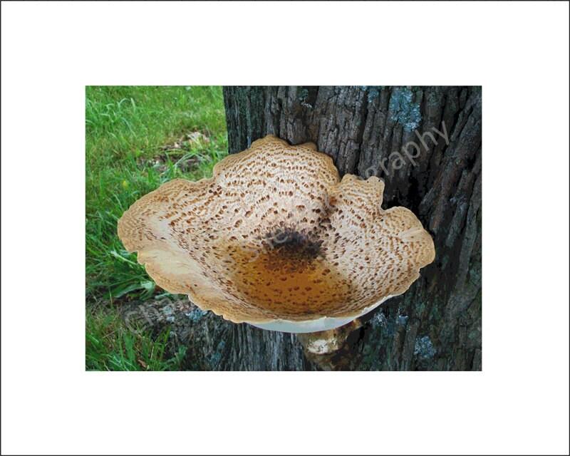 Mushroom Nature Bird Bath Photograph Signed Matte 8 x 10 - PhotographyCharleneS