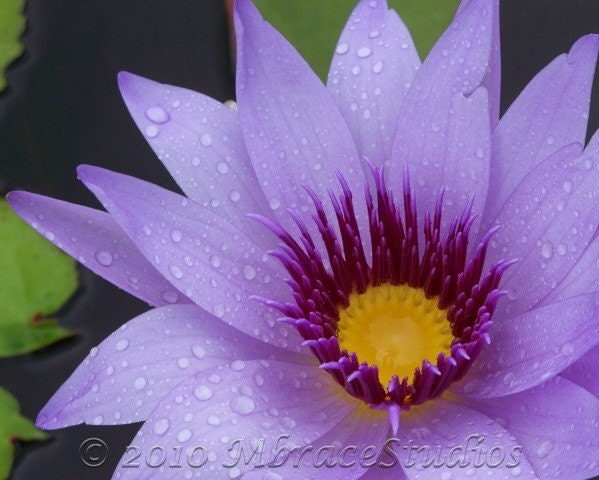 "Lavender  Water Lily 8x10 Matted Floral Photo Closeup - ""Lavender Serenity"" - mbracestudios"