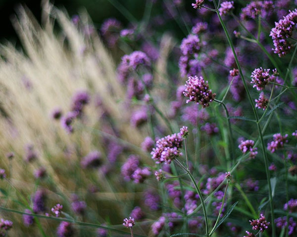 Purple Flowers Photograph, 8x10 Nature Print. Lavender Buds Against Wheat Colored Grass.