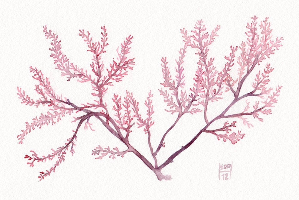 Watercolor illustration of a red Seaweed - Giclee print - Fine art  archival reproduction- Purple pink flower of the ocean - SandraOvono