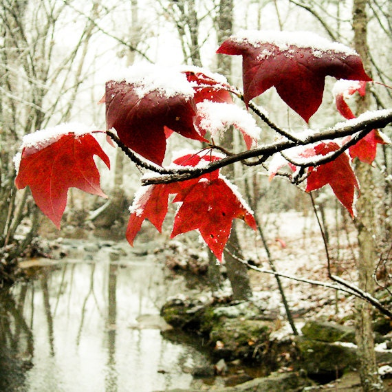Rustic leaf Photography fall harvest snow top creek woods tulip poplar southern crimson garnet - Little red riding hood - square fine art