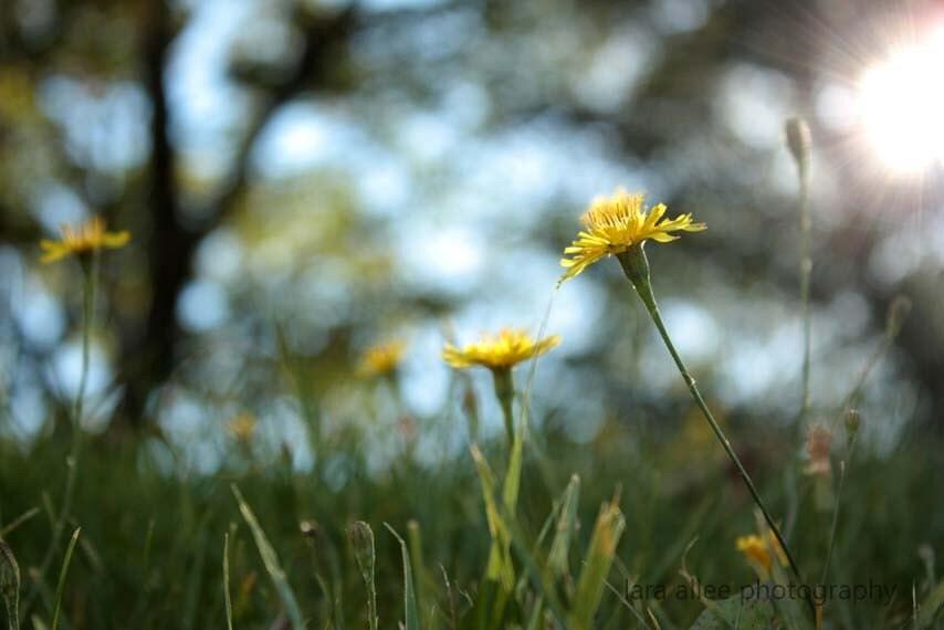 Dandelion field 8x10