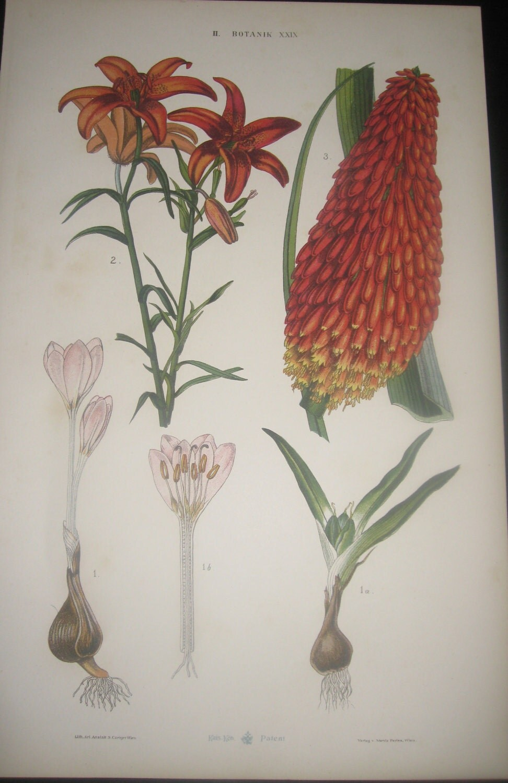 Vintage Austrian Botanical Prints