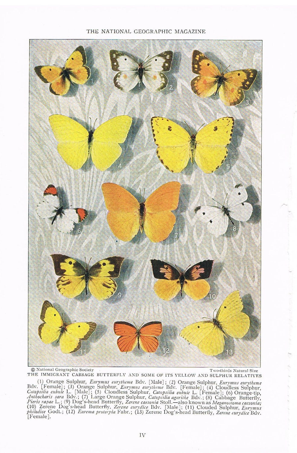 Antique 1927 Butterfly Print, Paper Ephemera, Species Identification Full Page Color Illustration, Home Decor, Art for Framing (IV) - YesterdaysSilhouette