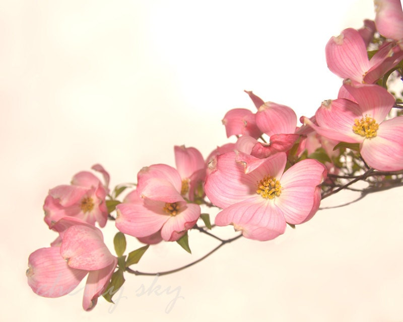 Pink Dogwood - Delicate Pastel Pink Flowers Floral Sweet Girlie Girls Room Decor Cottage Chic 8x10 Original Photograph - cherryskyphoto