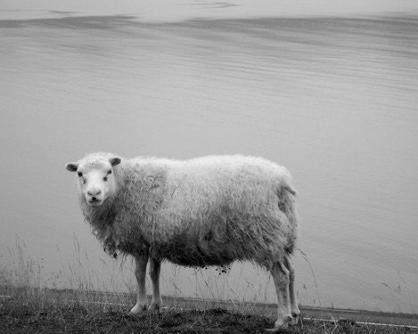 Black and white photography - A little Lost Sheep -  8x10 photograph of Icelandic sheep