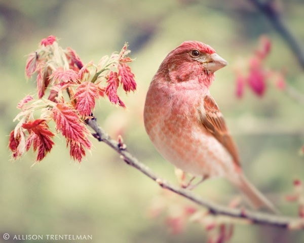 SALE 25% OFF - Purple Finch No. 1 - fine art bird photography print of little red bird on branch