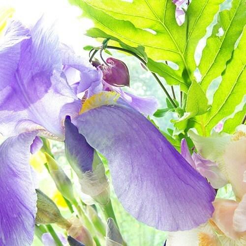 Purple Iris, Fine Art Photograph Note Card