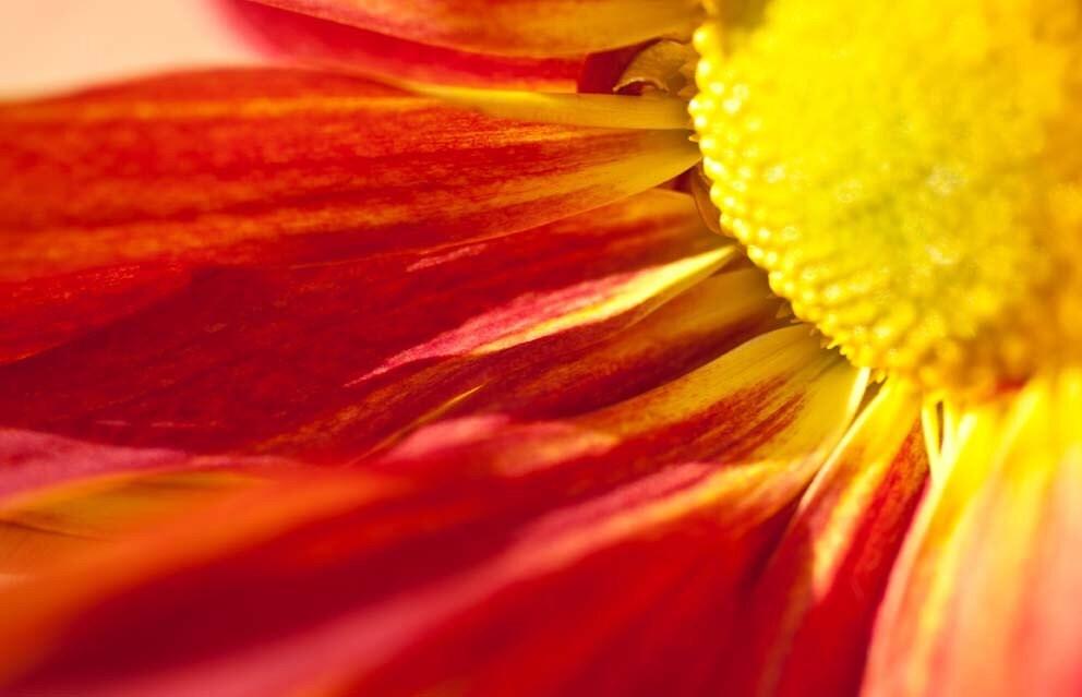 The Daisy Sun - Fine Art Macro Photographic Print 5 x 7