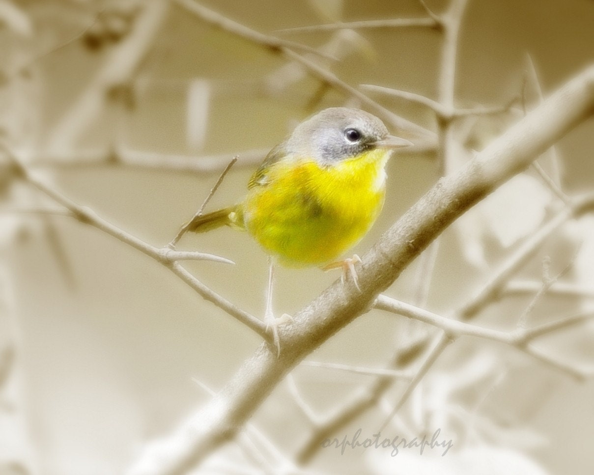 common yellowthroat, a fine art photograph. 8x10