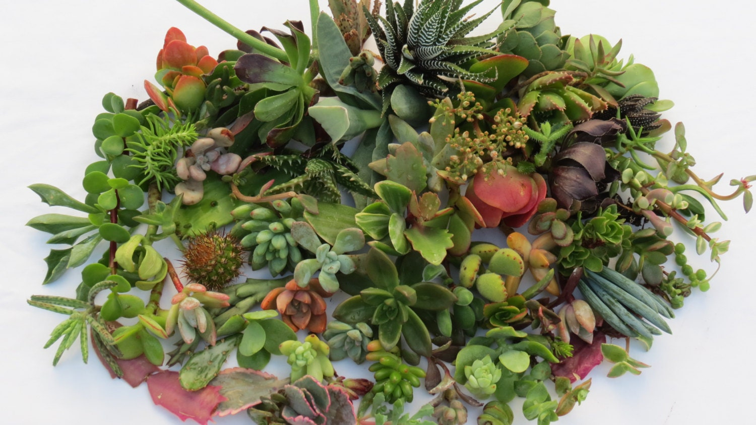 25 assorted succulent cuttings no 2 cuttings by sarassucculents. Black Bedroom Furniture Sets. Home Design Ideas
