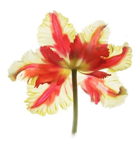 Red Tulip Botanical Print Wall Decor A Scanned By Judystalus