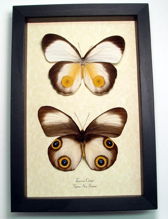 Big Eyes Taenaris Catops Real Framed Butterfly Display 194p