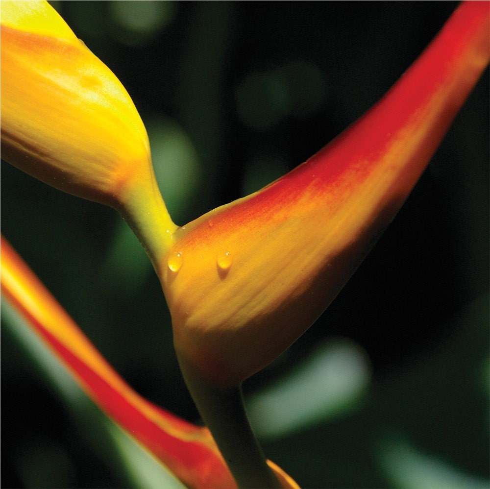 bird of paradise, costa rica. medium size. limited edition, archival quality photo print.