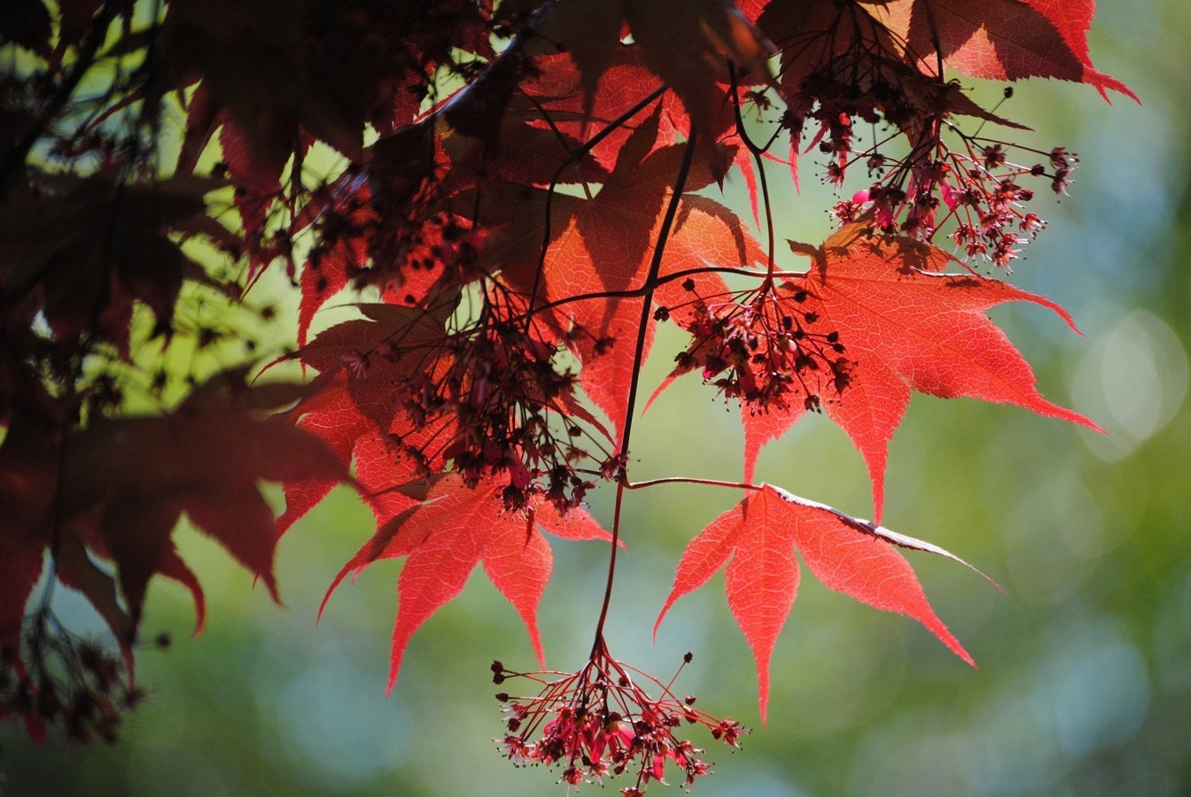Japanese Maple 3 photograph
