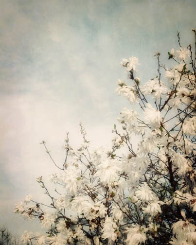White Spring Blossoms Photograph - blue sky, spring, sunny, clouds