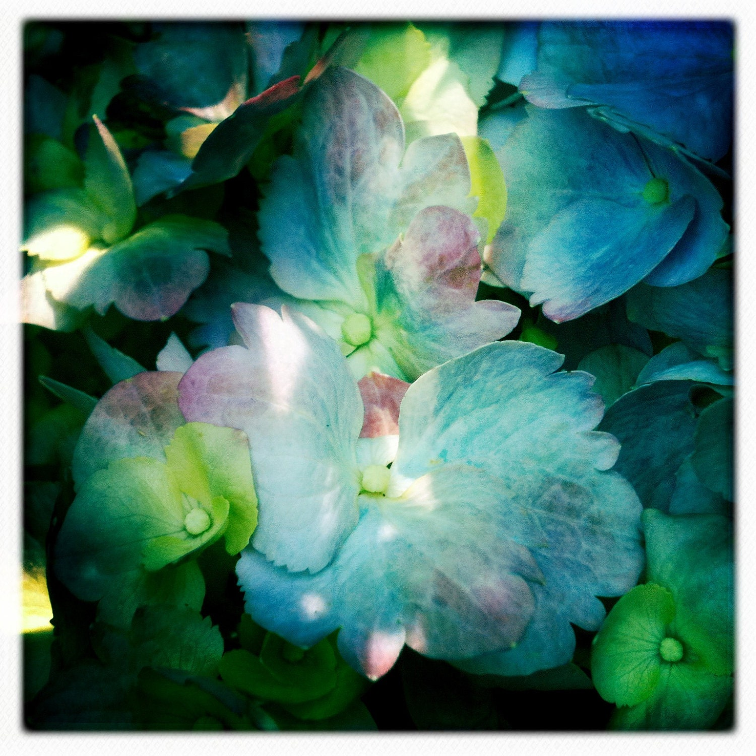 Hydrangea....Hipstamatic Original Photo