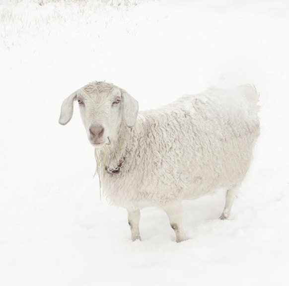 White Goat Art Fine Art Photography Snow Art Winter Art Snow Landscape Art Photography 8x10 Fine Art Photograph - lucysnowephotography