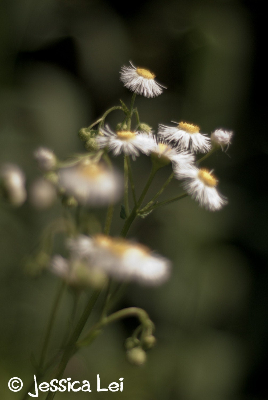Wild Daisies -  An 8x10 Photographic Print